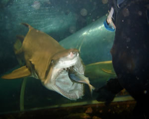 Shark Diving, Shark Feed Dive - Sydney