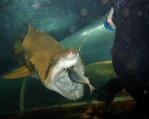 Shark Diving, Shark Feed Dive - Sydney