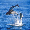 Wild Dolphin Experience Sightseeing Cruise - Mornington Peninsula VIC
