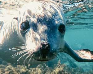 Swim With Sea Lions Port Lincoln Adrenaline