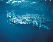 Swim with Whale Sharks, Ningaloo WA