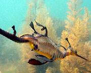 Snorkeling, Sea Dragons and Hot Springs - Mornington Peninsula