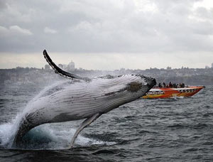 Enjoy 51% OFF ON WHALE WATCHING, Circular Quay, Sydney NSW, NOW ONLY $49!