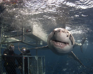 Great White Shark Cage Dive, Port Lincoln - 2 Night - NON-CERTIFIED DIVERS