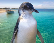 Penguin Island and Dolphin Watch Adventure Cruise