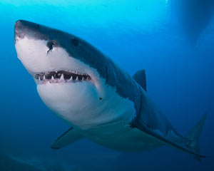 Great White Shark Ocean Floor Cage Dive, Port Lincoln - 4 Night