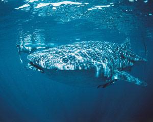 Whale Shark Eco Tour, Ningaloo WA