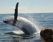 Whale Watching Cruise, Half Day - Gold Coast