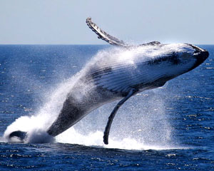 Whale Watching, Weekends, 2 Hours - Perth