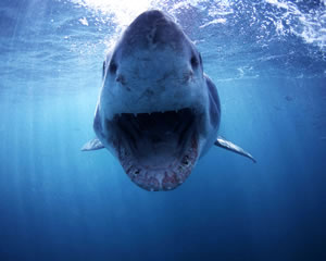 Great White Shark Surface Cage Dive Port Lincoln 3