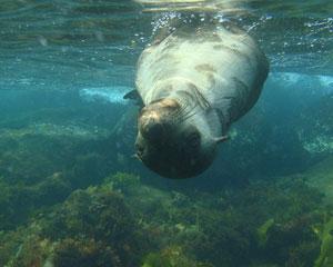 Sailing, Snorkel with Seals - Mornington Peninsula