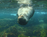 Sail & Snorkel with Seals - Mornington Peninsula