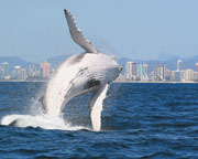 Whale Watching Cruise, Half Day - Gold Coast WEEKDAY SPECIAL OFFER $59
