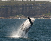 Whale Watching - SPECIAL OFFER - Sydney