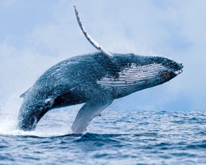 Whale Watching Cruise (Whale Sighting Guarantee) - Mooloolaba