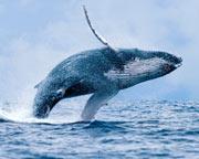 Whale Watching Cruise (Whale Sighting Guarantee) - Mooloolaba
