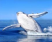 Extreme Whale Watching - Mooloolaba, Sunshine Coast