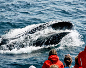 Whale Watching Sydney - 2 Hour Express Tour