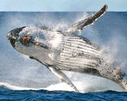 Whale Watching Sydney SPECIAL OFFER BETTER THAN 2-FOR-1