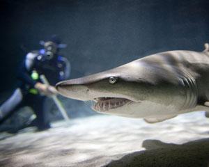 Shark Diving Non Certified Diver - Kelly Tarlton's SEA LIFE Aquarium, Auckland New Zealand