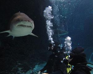 Shark Diving Certified Diver - Kelly Tarlton's SEA LIFE Aquarium, Auckland New Zealand