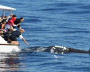 Whale Watching Cruise - MORNING SPECIAL - Gold Coast, QLD